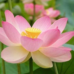 Lotus-sagrada