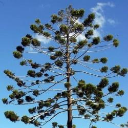 Pinheiro-de-Queensland (Araucaria cunninghamii)