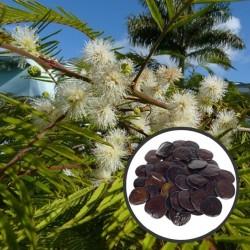 Yopo / Angico-do-morro (Anadenanthera peregrina)