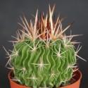 Echinofossulocactus arrigens