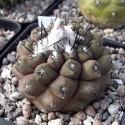 Copiapoa barquitensis