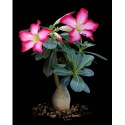Rosa-do-deserto (Cores Sortidas)