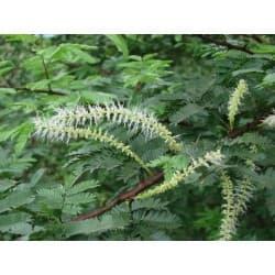 Jurema-preta (Mimosa hostilis)